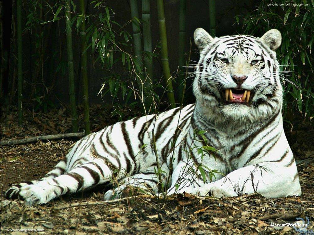 И было время, когда пришел другой белый тигр, из-за зеленого прохладного моря, и принес с собой тень и свет...