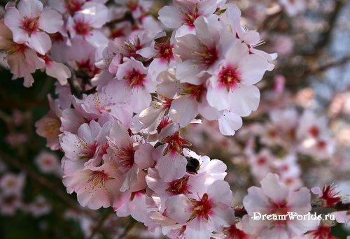 Много новых замечательных фотографий раздобыла в коллекцию цветущей сакуры! иииии! =@@=** Любуюсь!