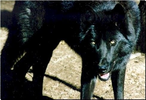 Amazoncom 4 Panel Wall Art Black And White Wolf And