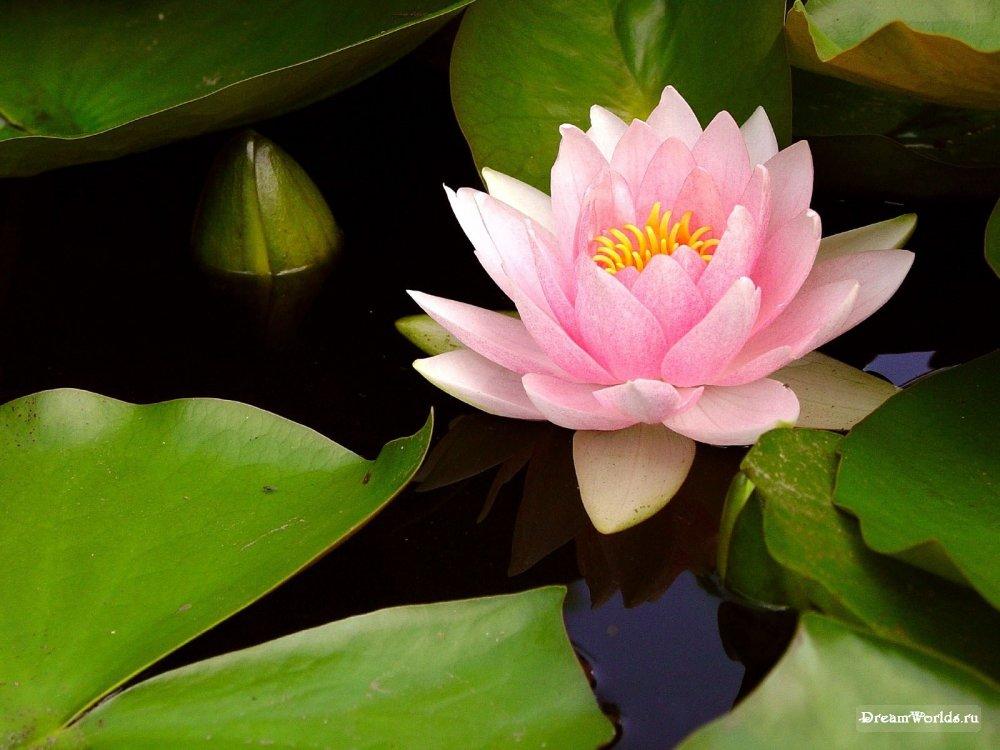 Кувшинка цветок картинки 1