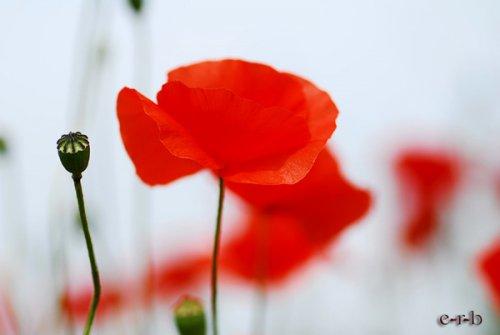 Язык цветов мак красный