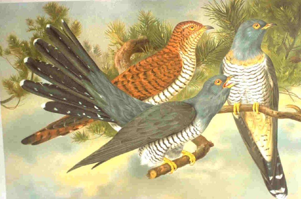 Род Кукушки - Cuculus - включает птиц серой окраски, с