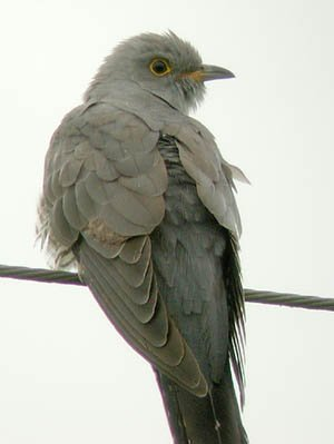 КУКУШКА (Cuculus canorus). птица средних размеров (длина тела до 40 см...