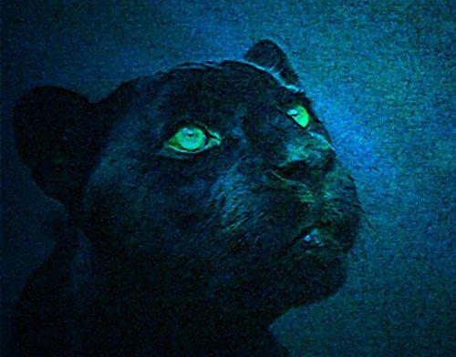 Чёрная пантера - название тёмноокрашенных особей ряда видов крупных кошек...