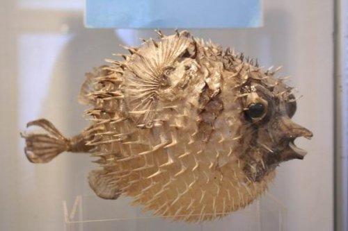Шарообразную рыбу фугу не хочешь?