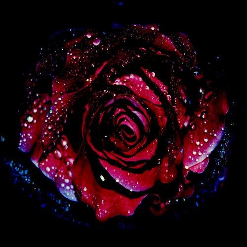 Распустила бутон свой черная роза