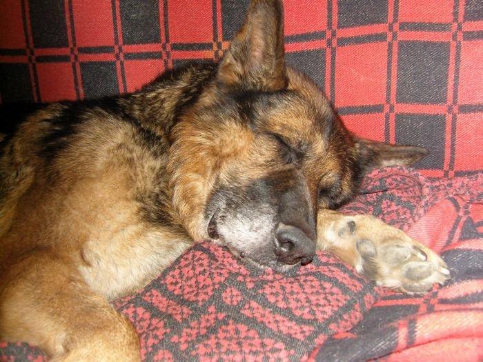 Как вы думаете, что снится нашим собакам, когда они тихо скулят и воют