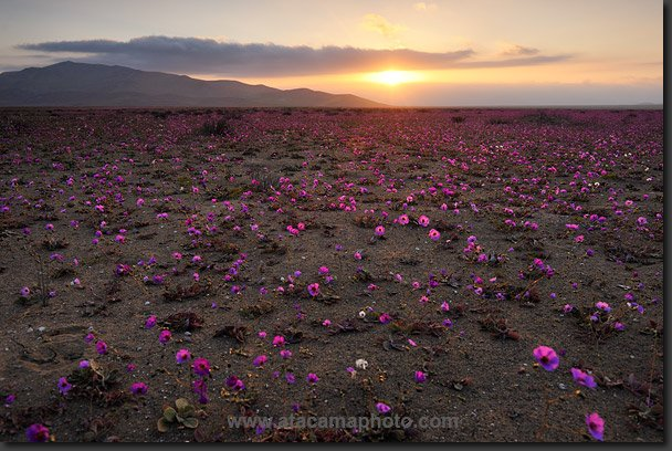 Фото пользователя СТЕФАНИЯ &---- с меткой. цветущая пустыня anza borrego.