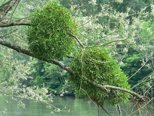 Магия растений. Омела - громовая метла.