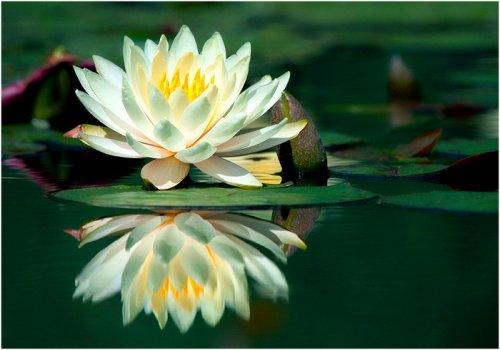 Магия цветов. Кувшинка — царица вод и цветок русалок